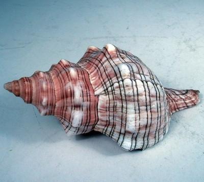 29133 Fasciolaria Trapezium 15-17cm