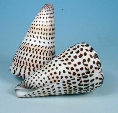 29325 Conus literatus ca. 9cm