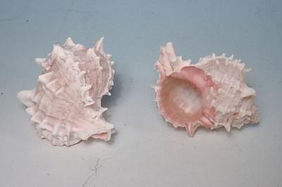 29354  Mu Murex pink 10-12cm